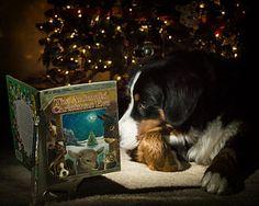 Bernese Mountain Dogs Photograph - Berner Christmas Story by Chris Dzierzewski