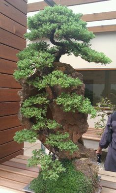 Cascading bonsai. Wonder just how tall it is...