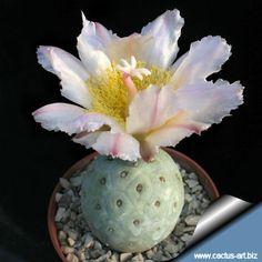 Thephrocactus geometricus villazzon