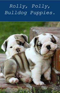 English Bulldog Puppy for Sale Bulldog Puppies For Sale, English Bulldog Puppies ... See more. Bulldog pup! When I'm ... English Bulldog Puppies for S...