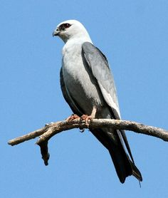 Mississippi Kite. Yes, I first spotted this raptor in Mississippi, somewhere around Hattiesburg.