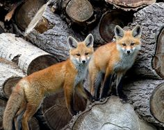 Images about fox and wolves on pinterest red fox foxes and wolves