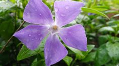 Vincapervinca - Vinca minor