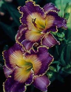 Daylily 'Azure Violets'~ I love Daylilies Exotic Flowers, Amazing Flowers, Purple Flowers, Beautiful Flowers, Orchid Flowers, Daylily Garden, Lilies Of The Field, Parcs, Day Lilies