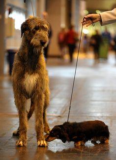 Crufts 2010. Wolfhound and Dachshund