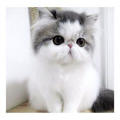 Beautiful little Persian kitten