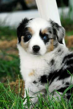 Max, the Australian Shepherd Puppy