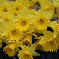 Buy trumpet daffodil King Alfred Narcissus King Alfred - The classic tall daff: 10 bulbs: Delivery by Crocus Colorful Flowers, Spring Flowers, White Flowers, End Of Winter, Ice King, Planting Seeds, Spring Garden, Shades Of Red, Flower Making