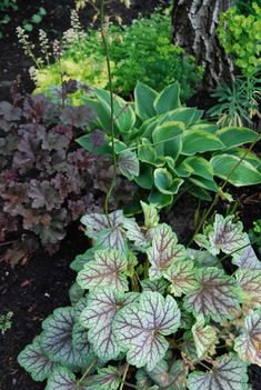 """Here is a Tiarella 'Crow's Feather', a Heuchera """"Purple Petticoat"""" and a variegated hosta."""