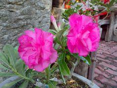 Hussade pink :)