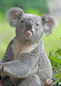 Adorable koala - cute little tongue!