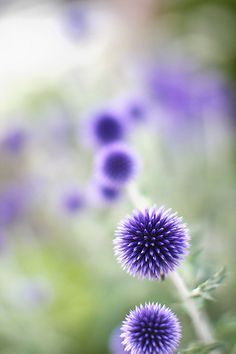 Echinops ritro (Small globe thistle),   'Veitch's Blue.'