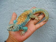 The Uromastyx is also known as a Spiky-tailed Lizard. They're found in Africa, Asia, and the Middle East.