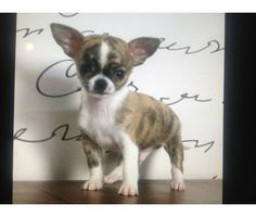 Teacup Chihuahua Puppies-2.5 to 3.5 lbs full grown-Perfect apple heads is a Chihuahua Puppy in Southfield MI