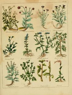 (27) Tumblr Plate from 'Culpepper's English Physician, and Complete Herbal' - by E. Sibley. Published 1789.