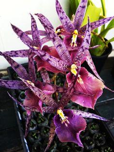 Oncidium Orchids | Orchid Review: Oncidium; Degarmoara Jay Yamada