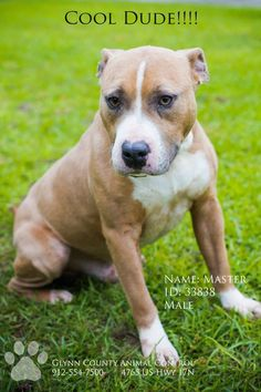 URGENT! BRUNSWICK, GA. MUST BE ADOPTED BY WED., APRIL 29TH AT 4 PM. NO PULLING FEES FOR LICENSED RESCUES. FREE TRANSPORT FREQUENTLY AVAILABLE. Master is a 1-2 year old small Bulldog mix who weighs just 30 pounds. Despite his small size, he is very strong. Master has an even temperament, and gets along well with everyone. He is a great-looking dog, and just wants a family to call his own. Could you be the one to put a relaxed smile on Master's handsome face? Master's adoption fee is just $25…