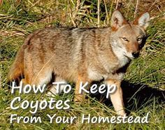 Keep Coyotes Away From Your Homestead | http://homestead-and-survival.com/keep-coyotes-away-homestead/ | Coyotes are smart animals that have adapted to humans but solutions exist that keep them away from your homestead.
