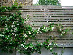 The highly scented Trachelospermum jasminoides Garden Privacy, Garden Trellis, Evergreen Climbers, Trachelospermum Jasminoides, Late Summer Flowers, Jasmine Plant, London Garden, Family Garden, Gardens