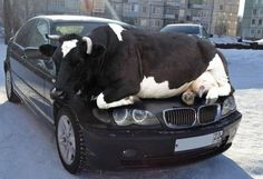Russia is a state of mind! It's affect even cows
