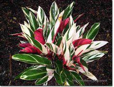 Amazing Unusual Plants To Grow In Your Garden Tropical Landscaping, Landscaping Plants, Tropical Garden, Tropical Plants, Colorful Plants, Unusual Plants, Cool Plants, Exotic Plants, Colorful Flowers
