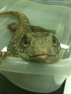 Sherman - A Savannah Monitor Lizard
