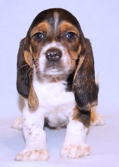Basset hound puppy. Such a sweet face!