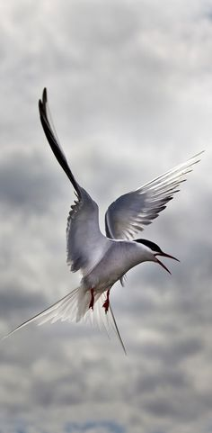 Arctic Tern in Flight © Paul Gadd
