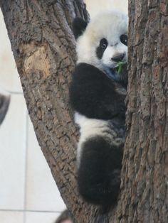 https://flic.kr/p/9odJim   Fu Hu tries some bamboo