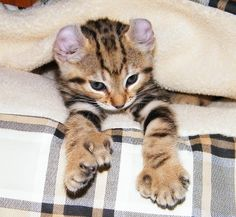Polydactyl cats have extra toes due to a autosomal dominant mutation in the Pd gene which is almost never harmful and certifiably adorable. http://ift.tt/1jGoLii