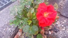 En rose så jeg skyde