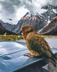 Kea (kee-uh) – the world's only alpine parrot and one of the few native species of New Zealand, sitting atop my rental car in Fjordland National Park [OC] Parrot Image, New Zealand Mountains, List Of Animals, Diy Dog Costumes, Animal Antics, New Zealand Travel, Animals Images, Culture Travel, Car Rental