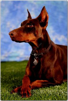 Doberman Pinscher Dog...I had one, and would love to have another one day...best dog ever.