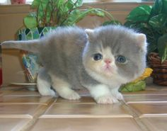 Blue and white Exotic kitten. Like SERIOUSLY OMG!!! I WANT IT!!!