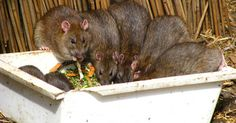 How to Eliminate Rats With Bounce Fabric Softener Sheets Getting Rid Of Rats, Catch A Mouse, Mice Repellent, Insect Repellent, Killing Rats, Rat Traps, Fabric Softener Sheets, Household Pests, Survival Skills