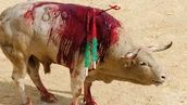 Sign this petition and tell the Spanish Congress to not declare bullfighting as Cultural Heritage