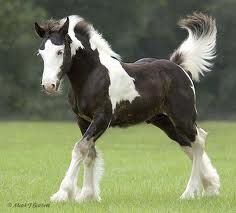 clydesdale horse....my absolute favorite kind of horse...big and always beautiful