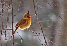 Mrs. Cardinal - Beautiful!