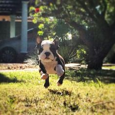 Benson Boston terrier puppy