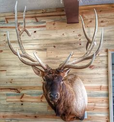 Deer Mounts, Trophy Rooms, Deer Antlers, Elk, Sweet Stuff, Hunting, Barn, Skull, Outdoors