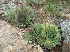 Succulent garden design is appropriate for warm, temperate and even cold season locations. Learn a little about how to plan an outdoor succulent garden in the article that follows.