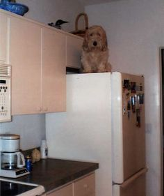 How did I get up here. How do I get down?   #PBGV 2008 Photo Contest Winners   Photographer: Phyllis Lindquist   http://www.pbgv.org