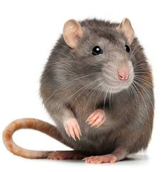 Contact Mega Pest Control services if you are looking for a trusted and effective rat control services in Surrey, Abbotsford, Langley and White Rock. We are leader in market in offering the best rat control services in an effective way. Reptiles, Mice Removal, Brown Rat, Rat Control, Animals And Pets, Cute Animals, Pet Mice, Pet Rats, Pest Control Services