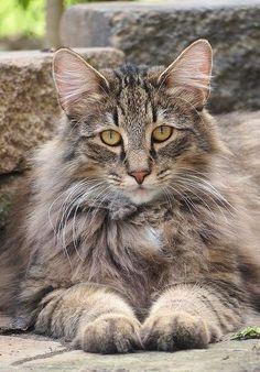 Les particularités de la peau du chat ! Conseils, articles et vente de compléments vétérinaires sur animopharma.fr et lapharmaciecentrale.fr