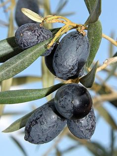 The Olive Leaf extract has antibacterial, antifungal, antiviral, antihypertensive, and anti-diabetic properties Green Olive Dip, Olives, Green Melon, Quick And Easy Appetizers, Cheese Lover, Cheese Bread, Fruit Garden, Olive Tree, Something Beautiful