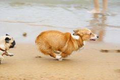 Corgis, putting pugs to shame in footraces for years. (We will have to take Felix to the beach this summer for some racin'! Cute Corgi, Corgi Dog, Corgi Cross, Animals Beautiful, Cute Animals, Corgi Pictures, Pet News, Pembroke Welsh Corgi, Dogs And Puppies