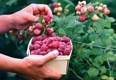 raspberry growing info.