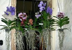 Air roots are natural for Orchids, absorbing the moisture and carbon dioxide they need to thrive directly from the air. here are some with no soil! http://www.houseplant411.com/houseplant/orchids-how-to-grow-care-tips