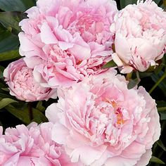 'Sarah Bernhardt' Herbaceous peony  Huge, pink double blooms resemble old-fashioned roses; they're fragrant too. Sturdy, erect stems make them great for cutting, or leave the blooms on the plant as pretty backdrops for spring bulbs.  This variety blooms in mid-spring and grows 2 1/2 to 3 feet tall and wide.