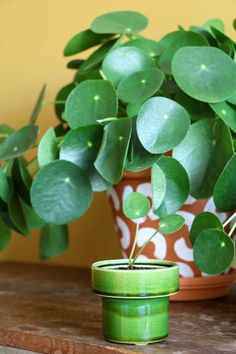 Pilea Peperomioides   Pannenkoekenplant